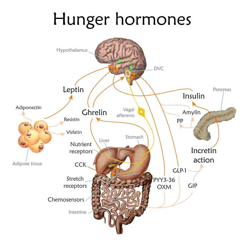 Appetite and hunger hormones