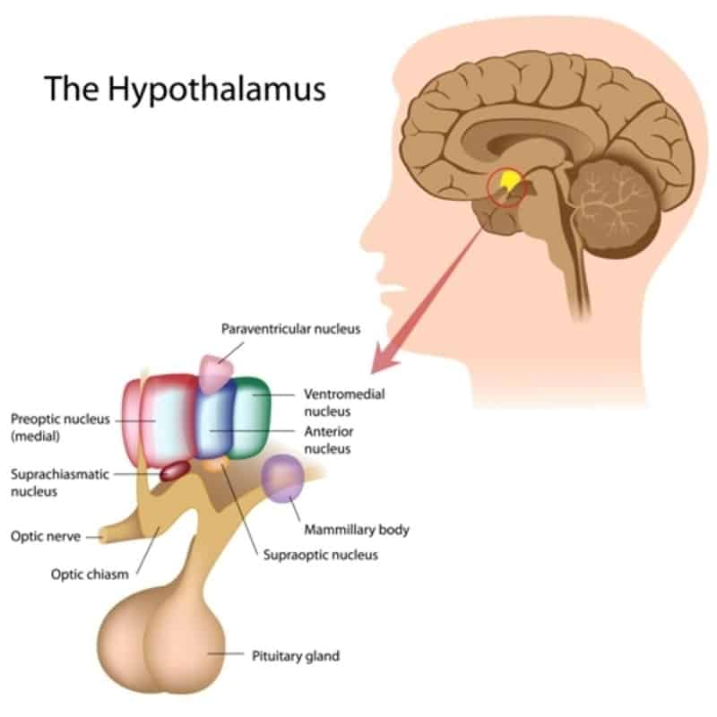 Can You Change Your Circadian Rhythm, Terry Cralle, MS, RN, CPHQ, hypothalamus