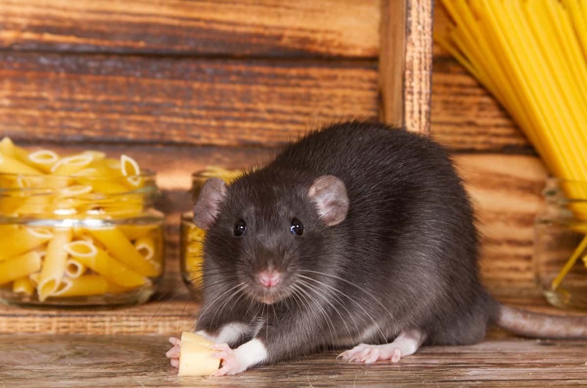 Is It Safe to Sleep with Mice/Rats in Your House