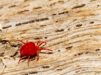 Tiny Red Bugs in Bed